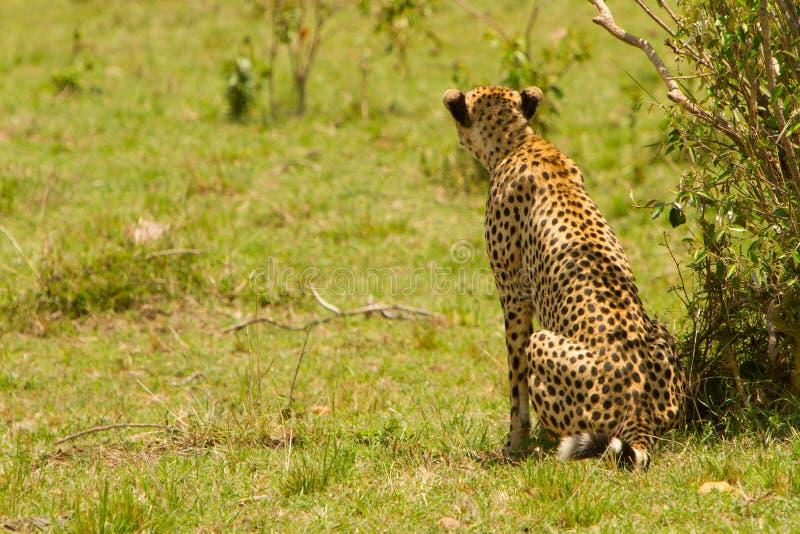 geparda Mara masai obraz royalty free