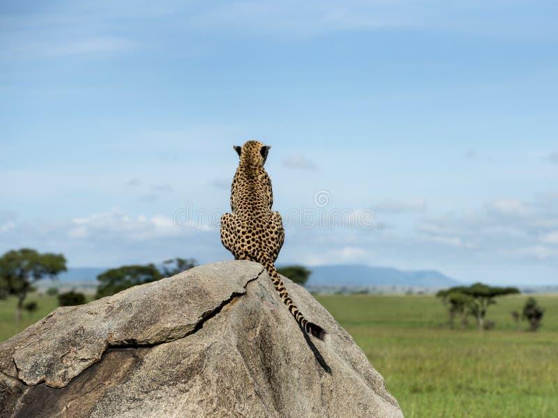 Geparda obsiadanie na rockowym i patrzeć daleko od, Serengeti zdjęcie stock