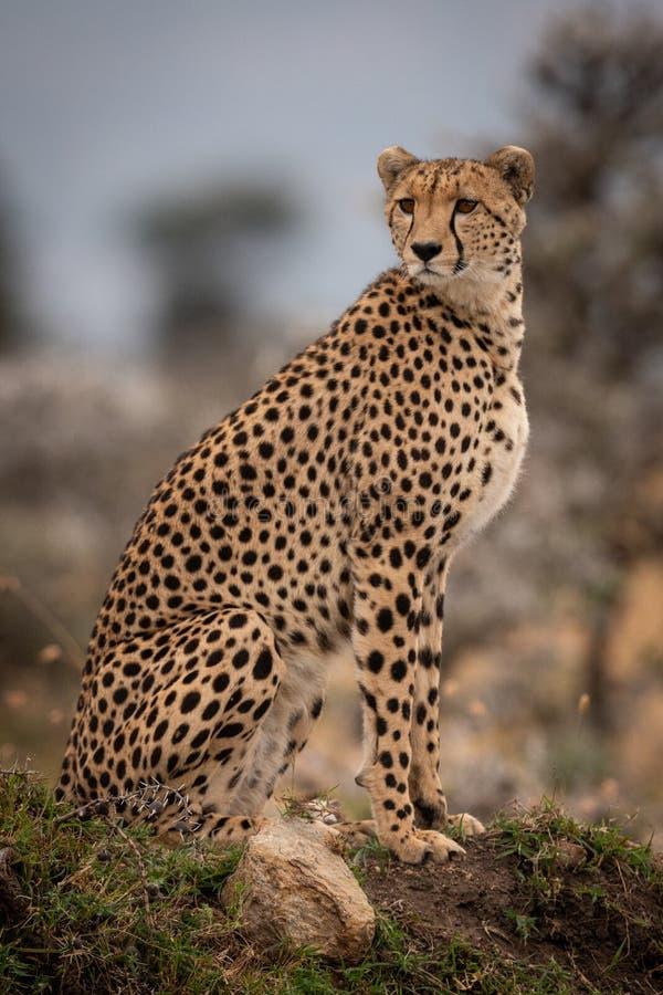 Geparda obsiadanie na trawiastej kopa kręcenia głowie obrazy stock