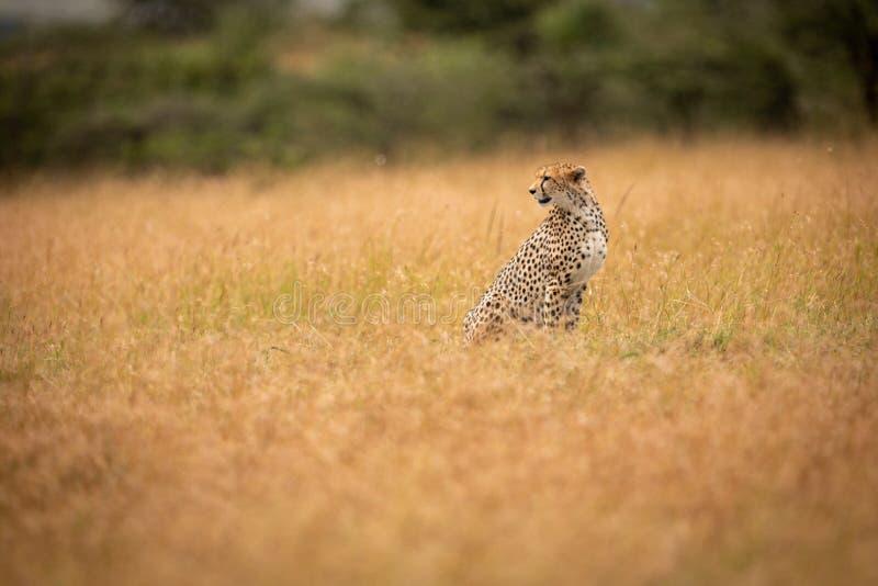 Geparda obsiadanie w długiej trawy kręcenia głowie zdjęcia stock