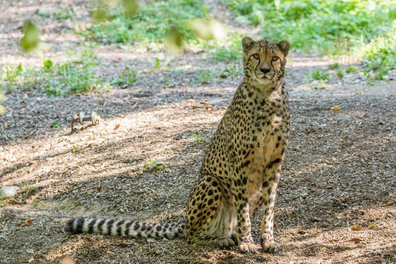 Geparda obsiadanie w drzewnym cieniu obraz royalty free