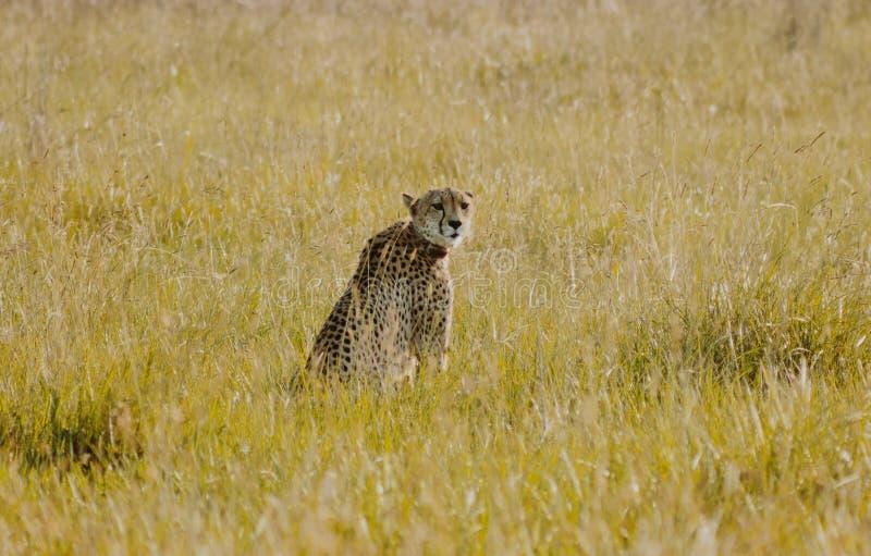 Geparda obsiadanie w krzaku przyglądającym z powrotem zdjęcie royalty free
