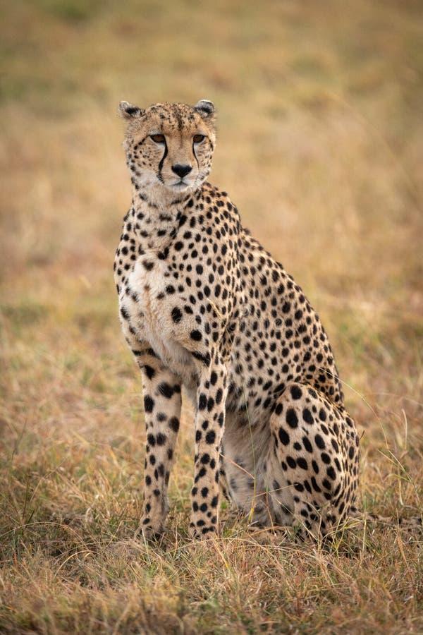 Geparda obsiadanie w trawiastej prostej kręcenie głowie obraz stock
