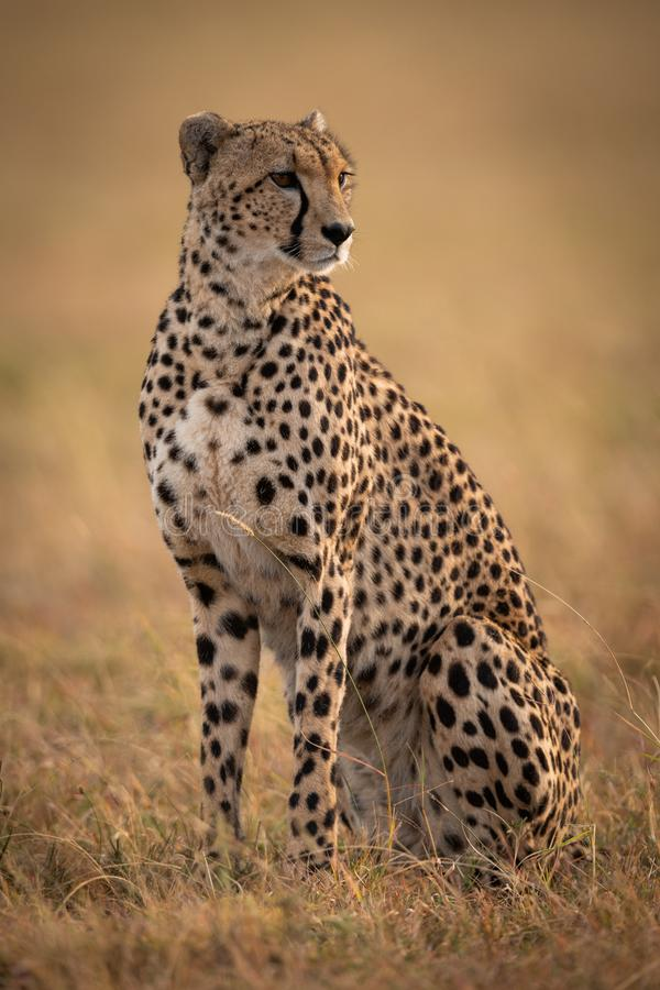 Geparda obsiadanie w trawiastym prostym kręcenia dobrze fotografia royalty free