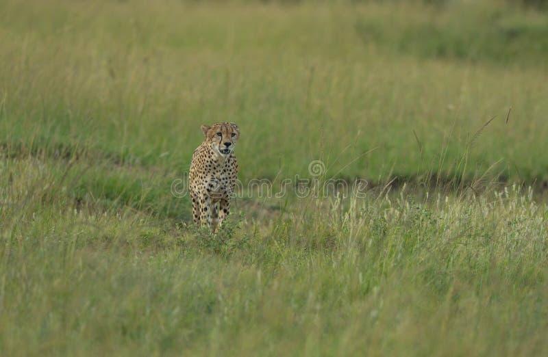Geparda odprowadzenie w zielonej trawie przy Masai Mara gry rezerwą, Kenja obraz stock