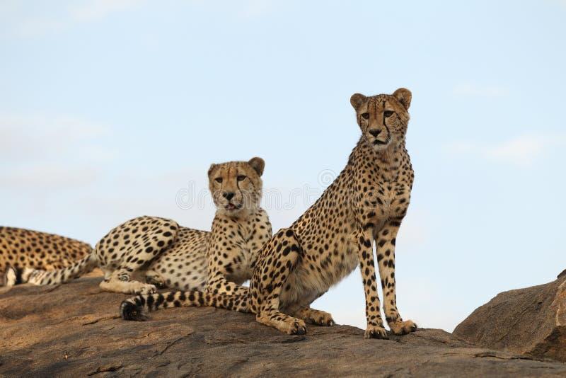 geparda pary obsiadanie obrazy stock