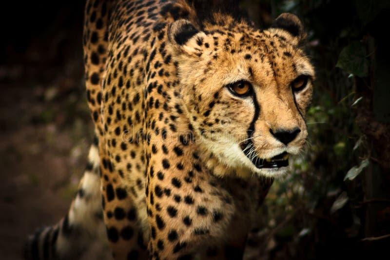 Geparda portret zdjęcia stock