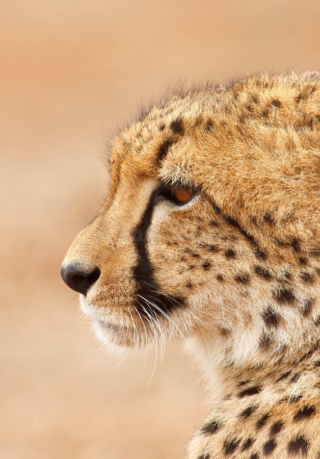 Geparda portret fotografia stock