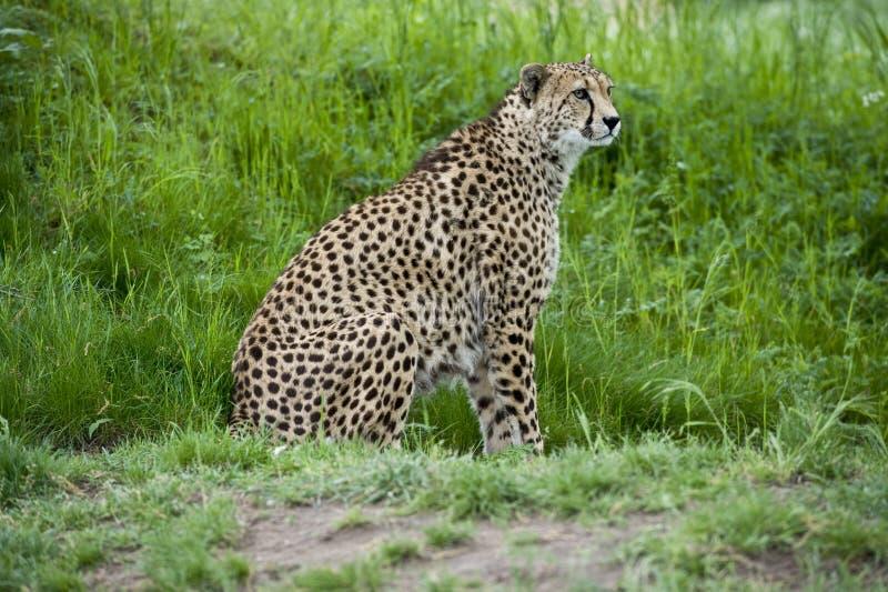 geparda prowl zdjęcie royalty free
