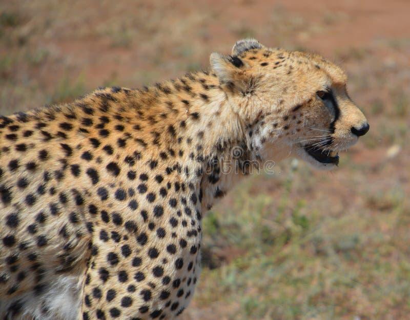 Geparda ` s twarz, zamyka up obraz royalty free