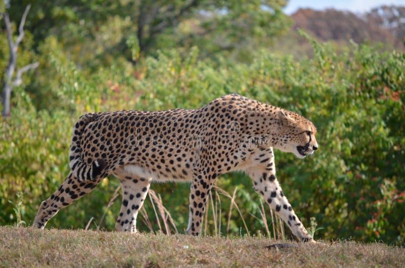 Download Geparda wywyższanie obraz stock. Obraz złożonej z królewiątko - 21949261