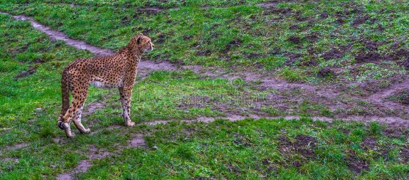 Gepardanseendet i ett gräs betar, den hotade kattspecien från Afrika royaltyfria foton
