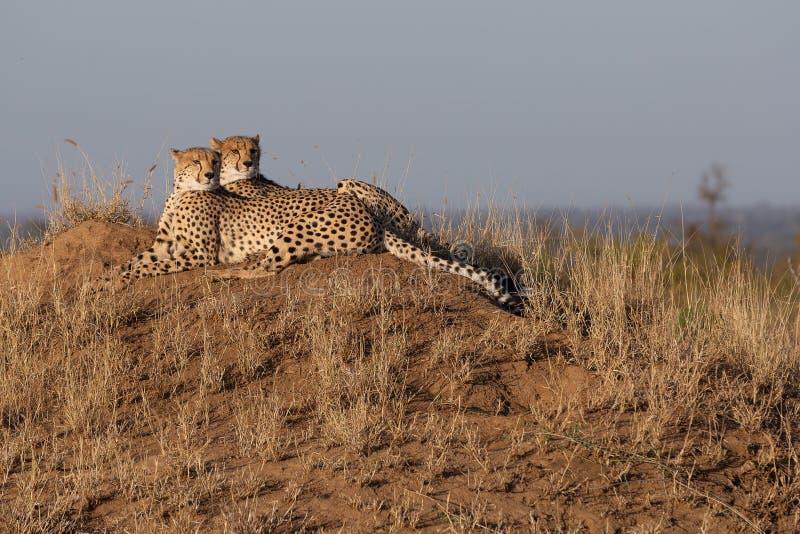 Gepardbröder tillsammans på en fördelpunkt arkivbilder