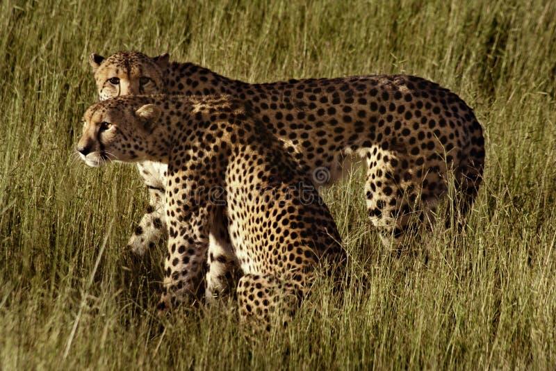 Gepardbrüder, Botswana lizenzfreie stockbilder