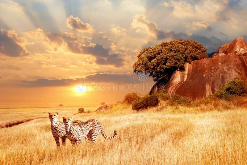 Geparde in der afrikanischen Savanne gegen den Hintergrund des schönen Sonnenuntergangs Nationalpark Serengeti tanzania afrika stockbild