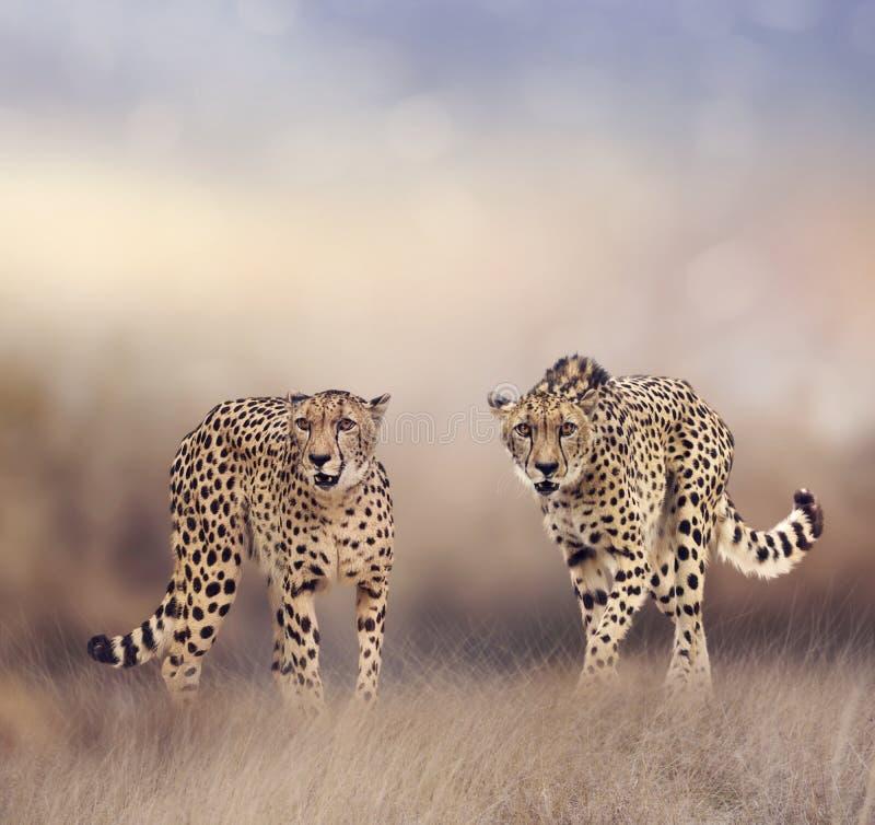Geparde in der Wiese lizenzfreie stockbilder