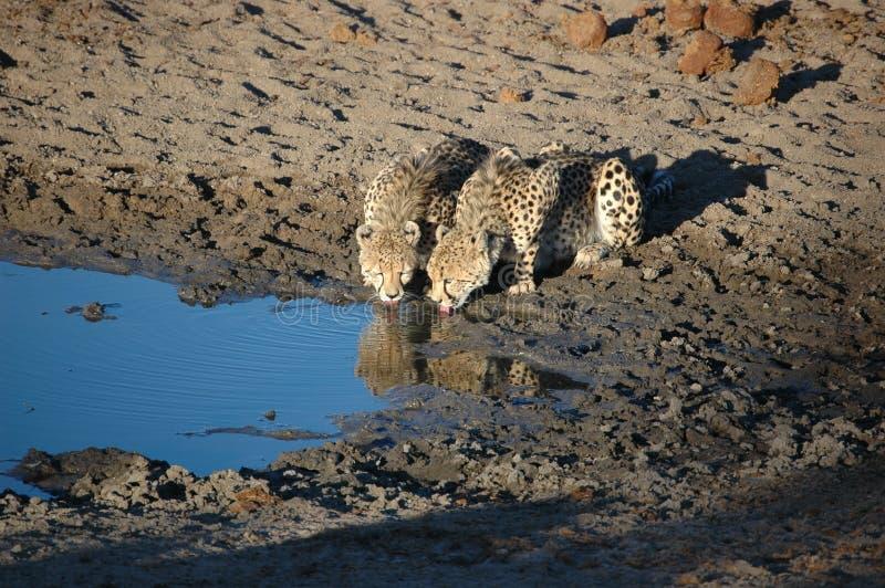 Geparden stockfotografie