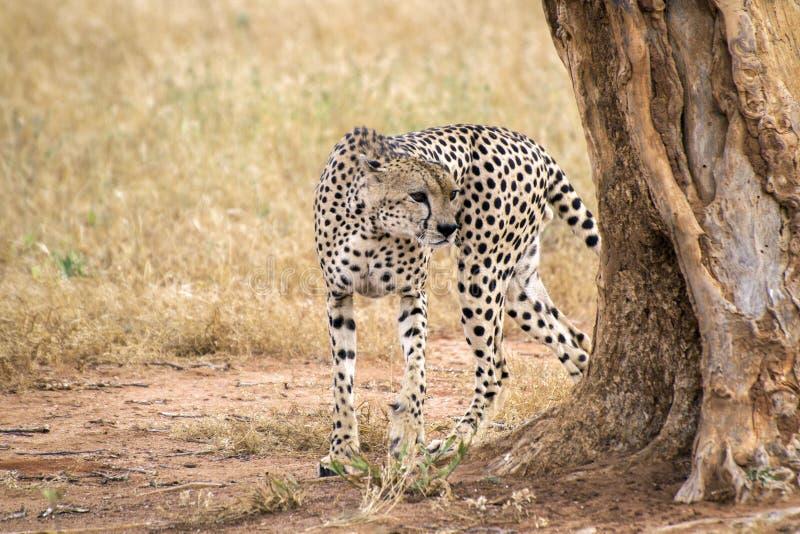 Geparden går runt om ett träd på en savann i Tsavo den västra reserven arkivfoto