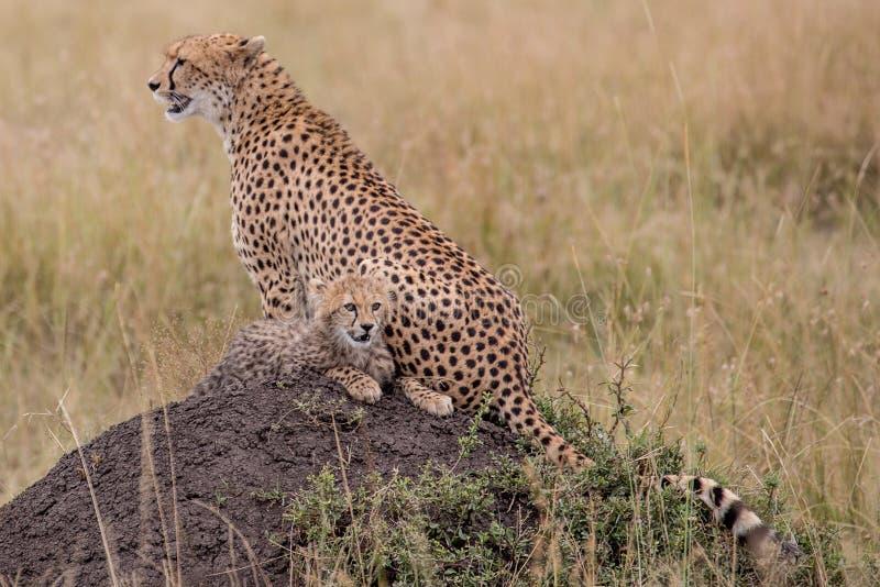 Geparden går till och med långt gräs i savannahAcinonyxjubatus fotografering för bildbyråer