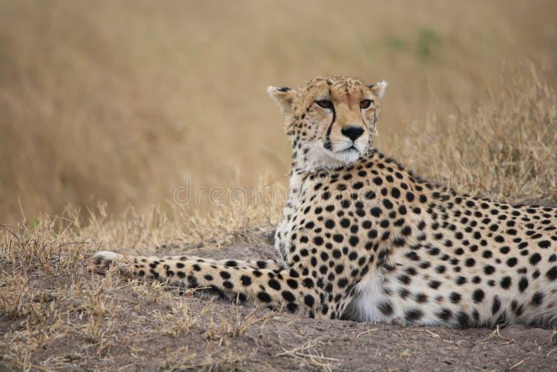 Geparden poserar royaltyfri fotografi