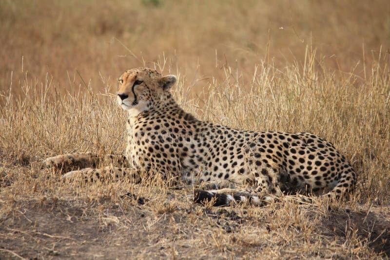 Geparden poserar arkivfoton