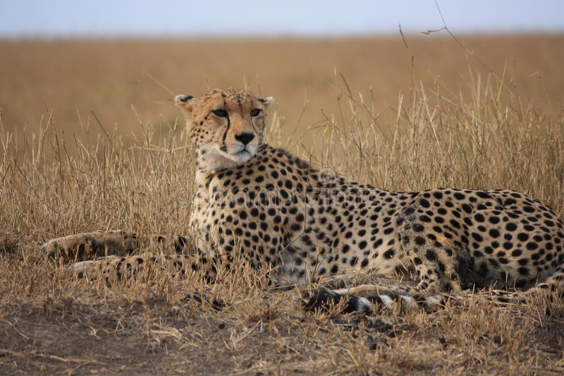 Geparden poserar arkivbilder