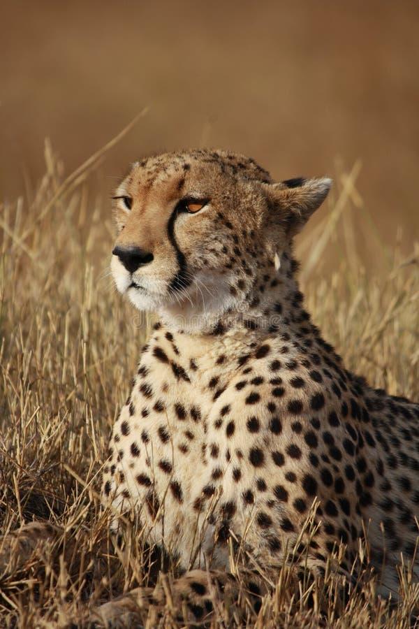 Geparden poserar royaltyfria foton