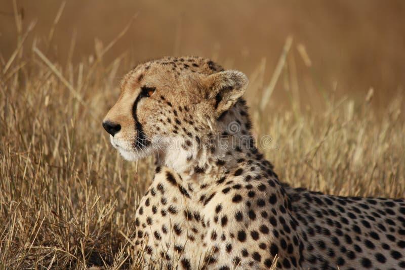 Geparden poserar arkivfoto