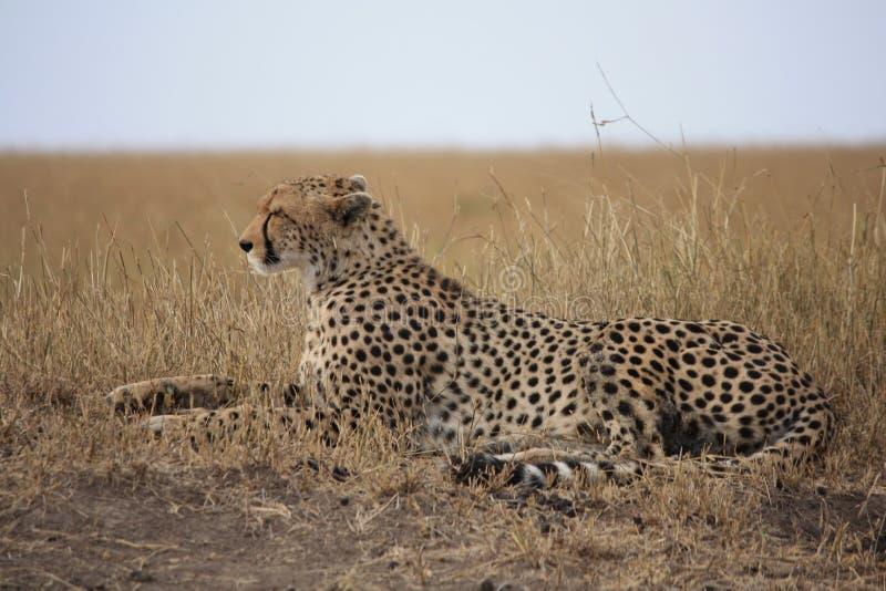 Geparden poserar fotografering för bildbyråer