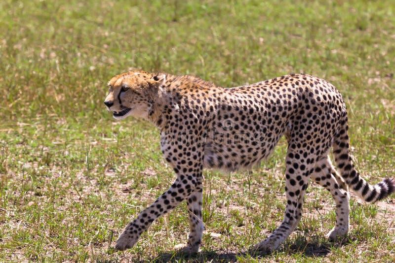 Geparden promenerar savannahen Kenya Afrika royaltyfria bilder