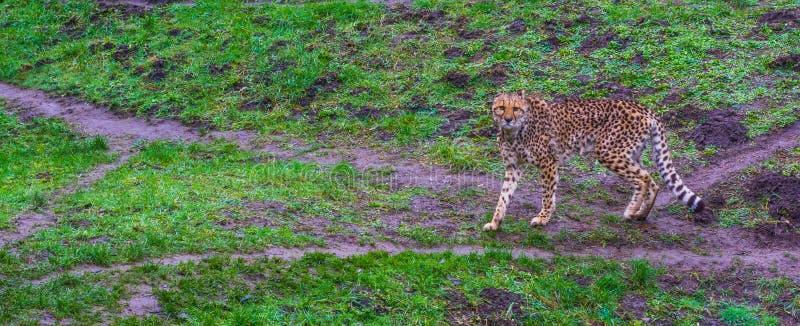 Geparden som går i, betar och ser in mot kameran, hotad kattspecie från Afrika royaltyfri bild