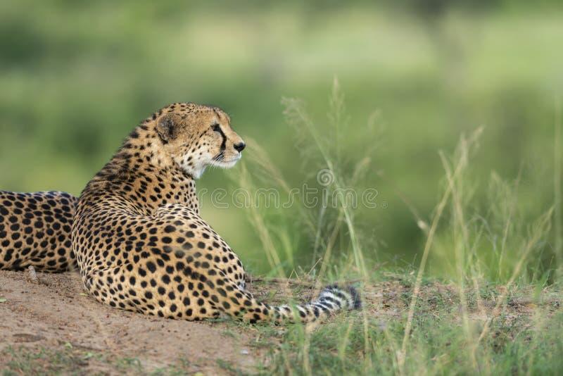 Geparden som kopplar av efter ett långt, går på masaien Mara Game Reserve, Kenya arkivfoto