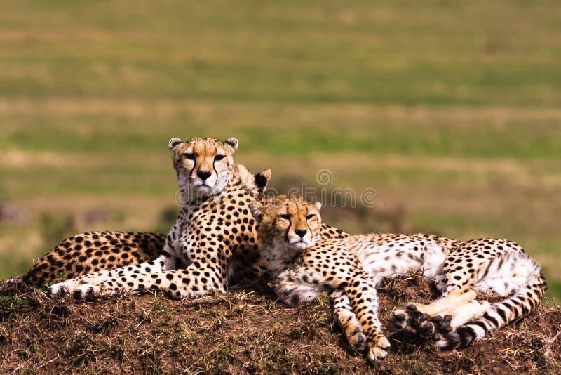 Geparder på kullen arkivfoton