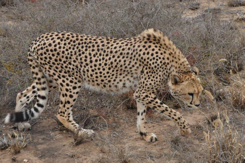 Gepardfütterung lizenzfreie stockbilder