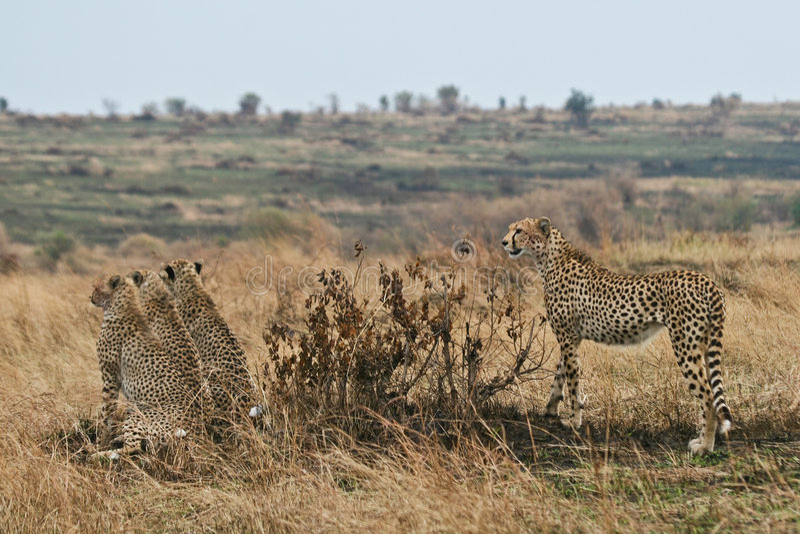 Gepardfamilie stockfotografie