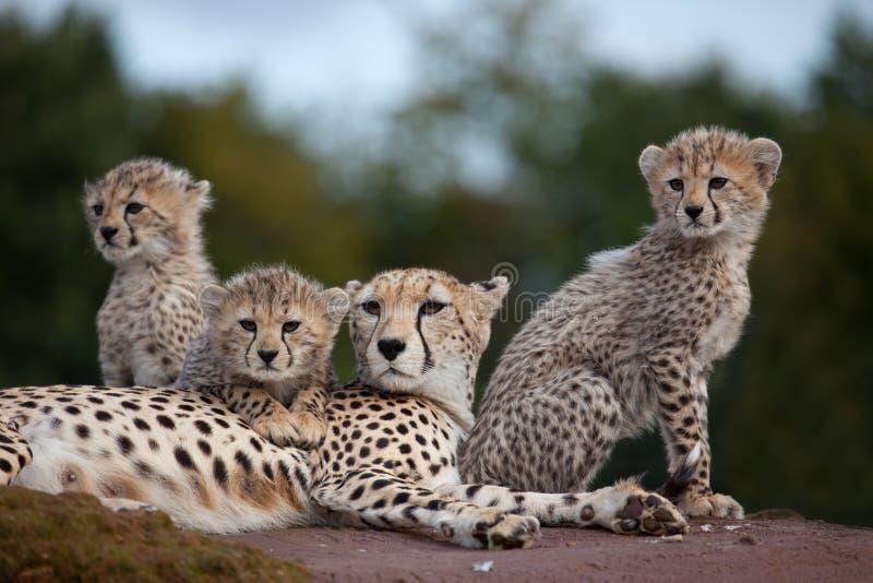 Gepardfamilie auf Felsen stockfotos