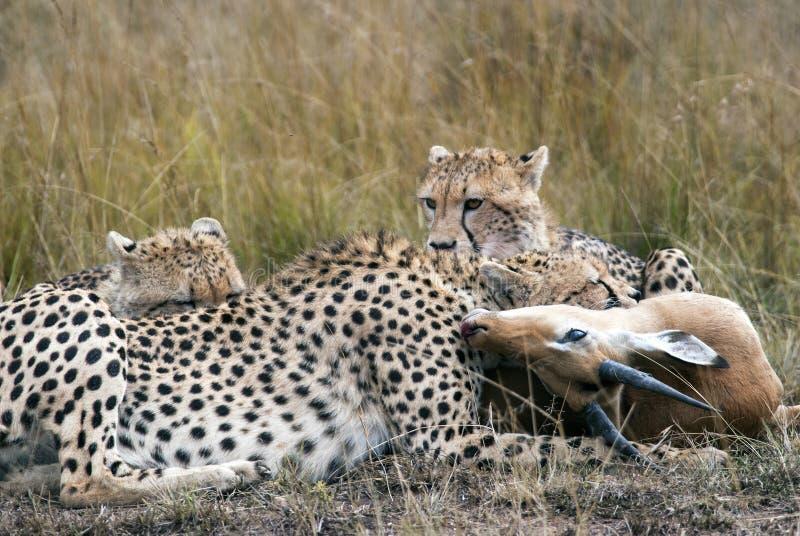 Gepardfamilie, die gefangen wird und Impala in der afrikanischen Savanne gegessen ist stockfotografie