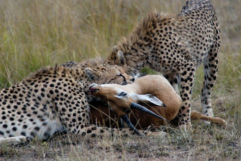 Gepardfamilie, eine Gazelle auf der afrikanischen Savanne fangend und verschlingen stockbild