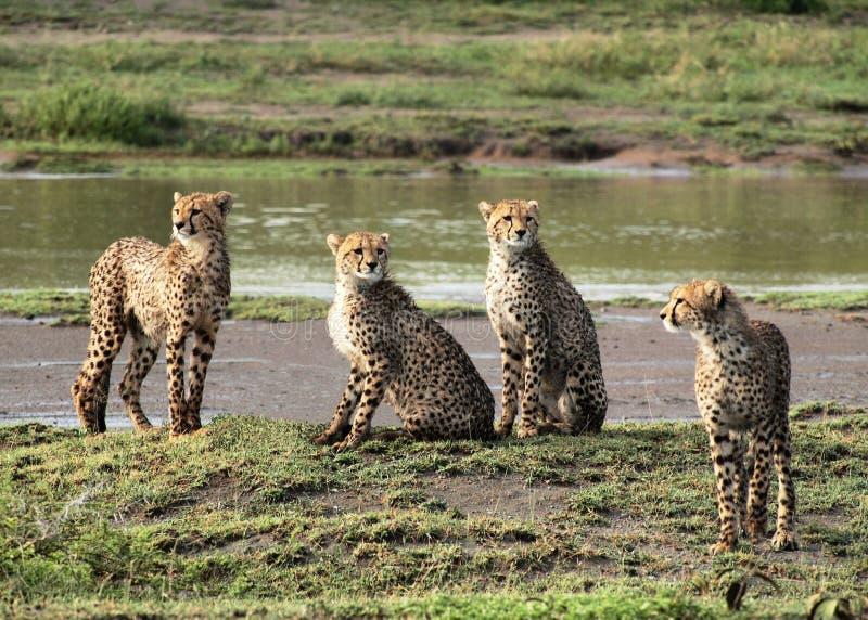 Gepardfamilj royaltyfri fotografi