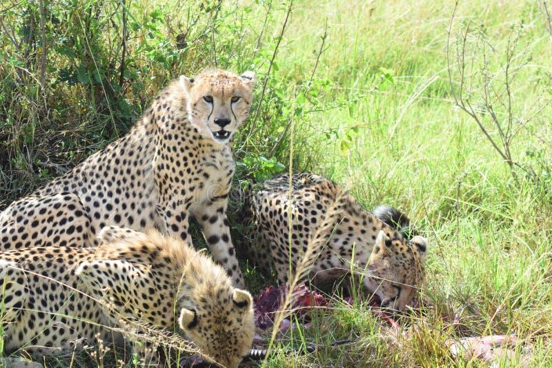 Gepardfamilj arkivfoton