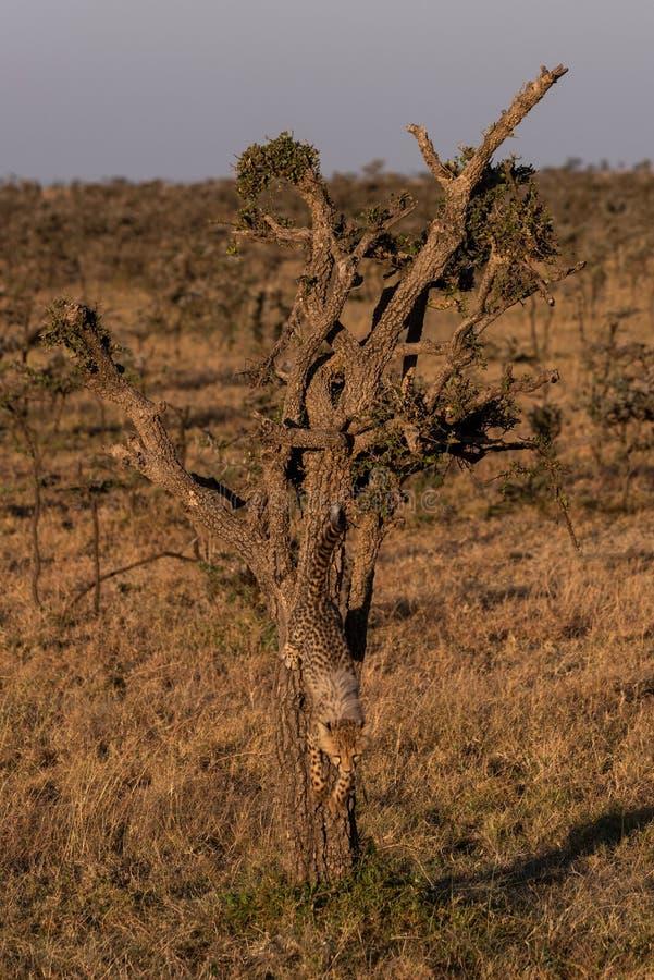 Gepardgröngöling som ner klättrar trädet på savannah royaltyfri fotografi