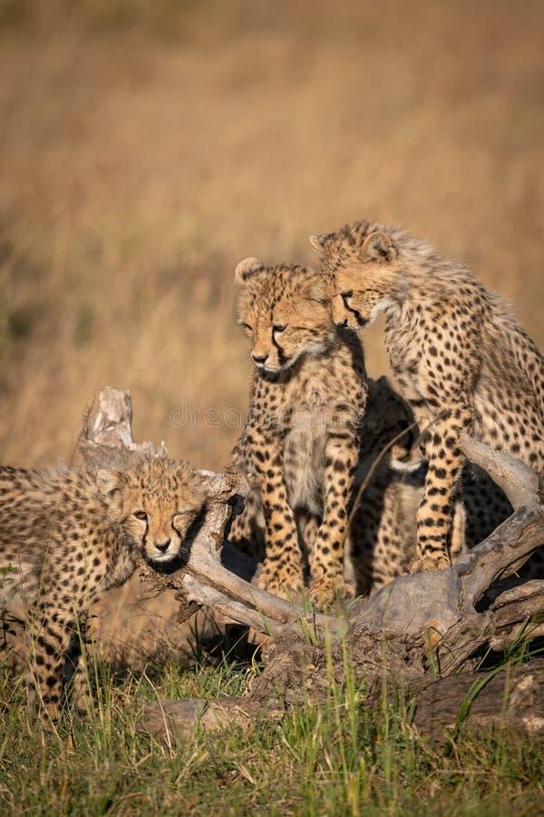 Gepardgröngölingar håller ögonen på en annan rub mot journal royaltyfri bild