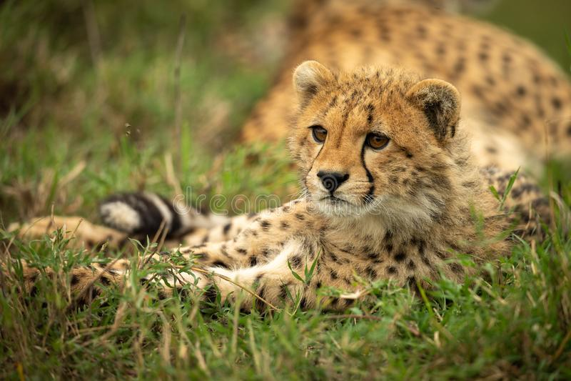 Gepardgröngölingen ligger i gräs som ser lämnat royaltyfria foton