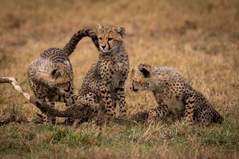Gepardgröngölingklocka bredvid sibling arkivbilder