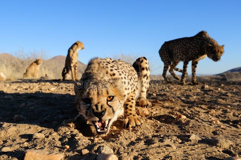 Gepardgruppe sind, Namibia aggressiv lizenzfreies stockbild