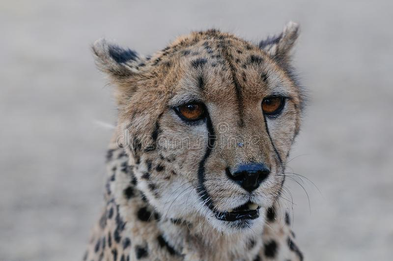 Gepardhauptporträt, Namibia lizenzfreies stockfoto