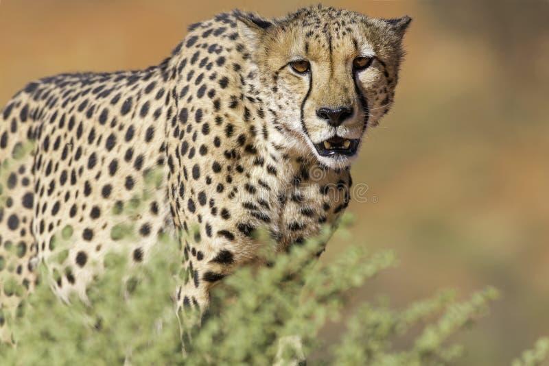 Gepardinställning royaltyfri bild