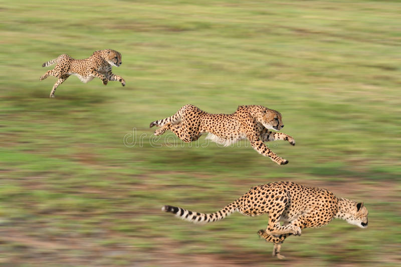 Gepardjagd