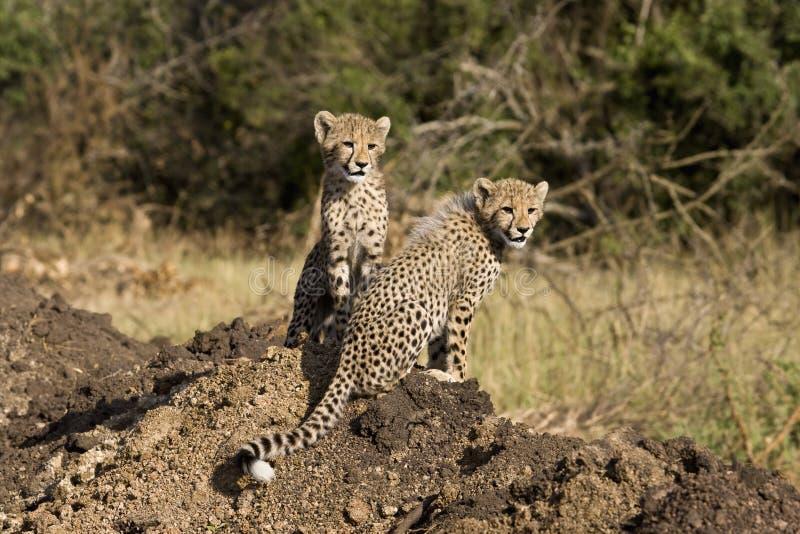 Gepardjunge stockfoto