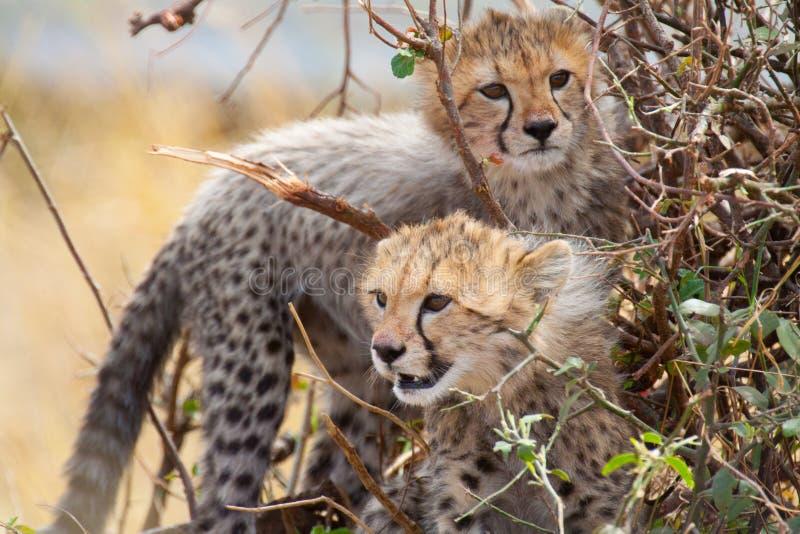 Gepardjunge in einem Busch stockbild
